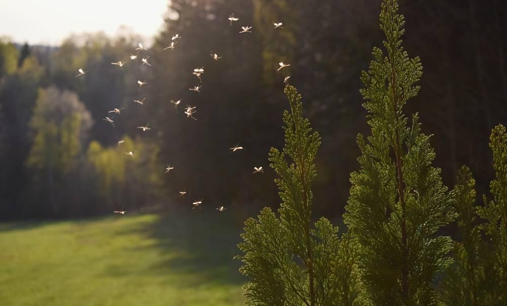 Des moustiques génétiquement modifiés : le défi d'Oxitec